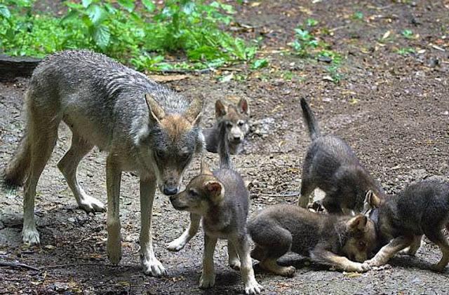 Волк-отец решил сам растить пятерых волчат без сбежавшей от них мамашки