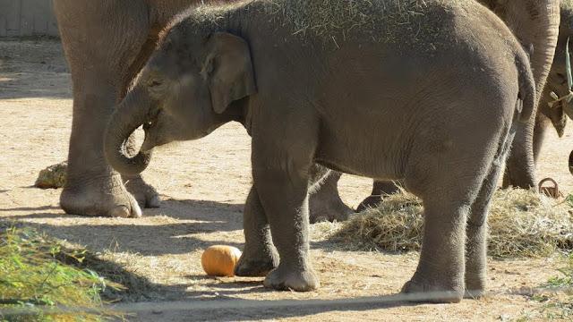 Halloween Elefantes