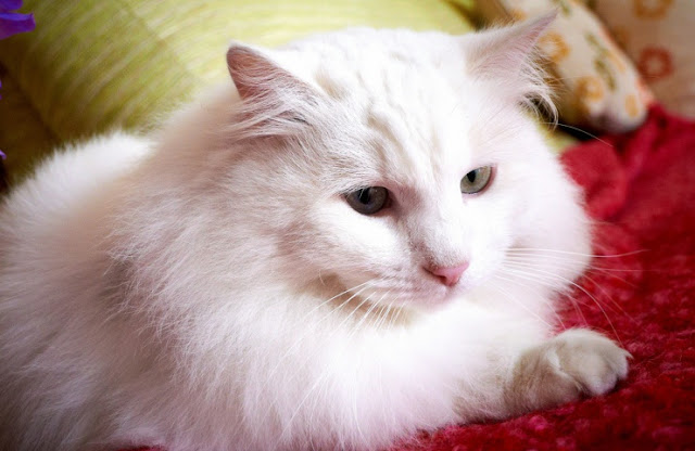 30 Gambar Jenis Kucing Anggora Beserta Harganya