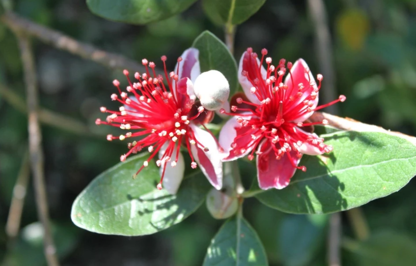 Why is feijoa useful?