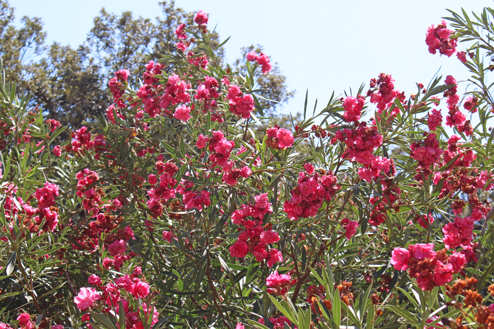 Red oleander in summer - Rome travel blog
