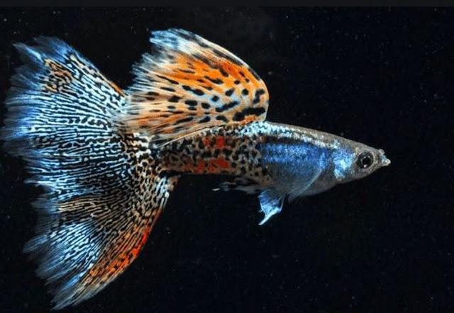 ikan-guppy-indah
