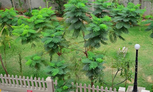 Go Green - Lush Green Gulmohar Trees