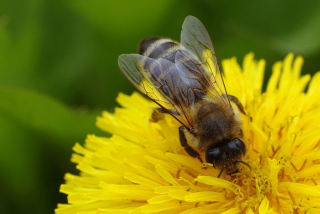 Essay on Honey Bee for Kids and School Students