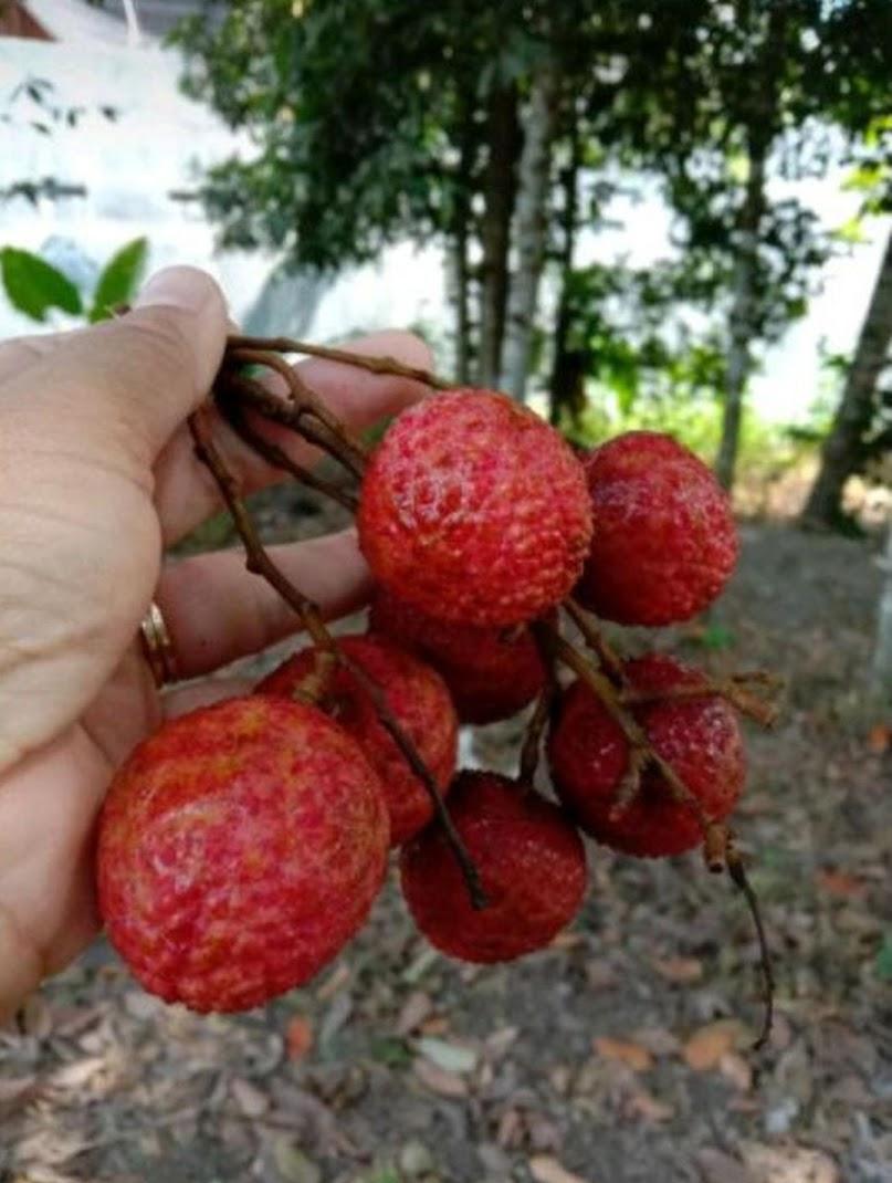 Bibit Buah Leci Merah Sumatra Utara