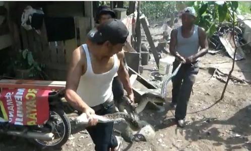 Ular piton yang ditangkap warga di Sidimpuan.