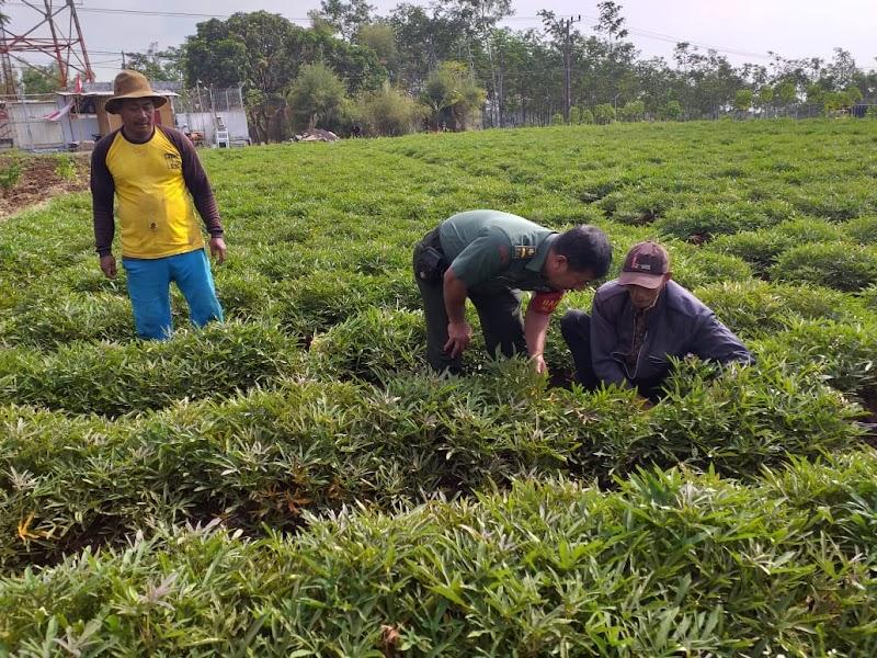 Babinsa Desa Tejowangi Bantu Petani Melaksanakan Perawatan Tanaman Ubi Cilembu