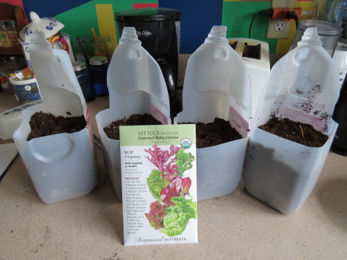 milk jugs planted with seeds