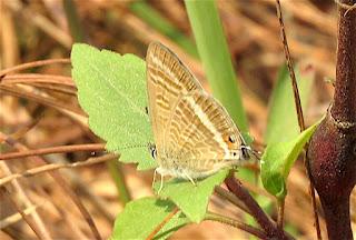Lampides boeticus, Pea Blue