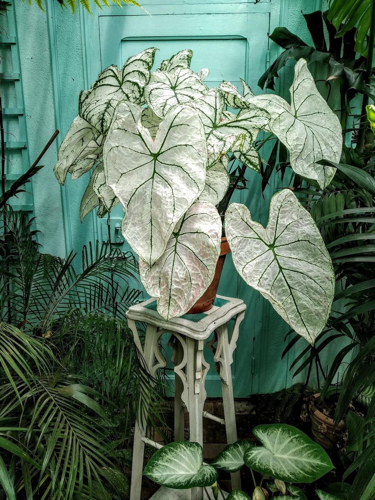 Caladium - le genre, espèces, hybrides et cultivars IMG_20190729_161440