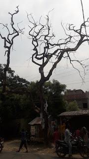 dry-denger-tree-purnia