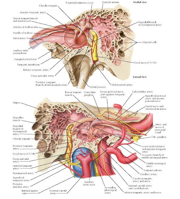 Tympanic Cavity Anatomy