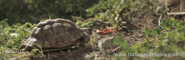 Tortuga mora buscando comida en el jardín