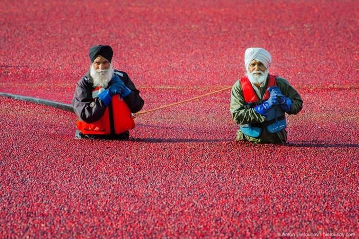 In the vast sea of cranberries, Richmond