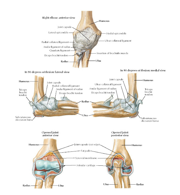 Ligaments of Elbow Anatomy