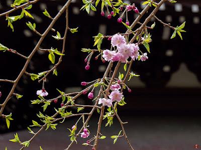 Shidare-zakura (Prunus itosakura Sieb.) flowers: Engaku-ji
