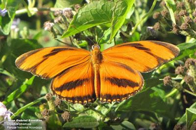 Mariposa reina rayada (Dryadula phaetusa)