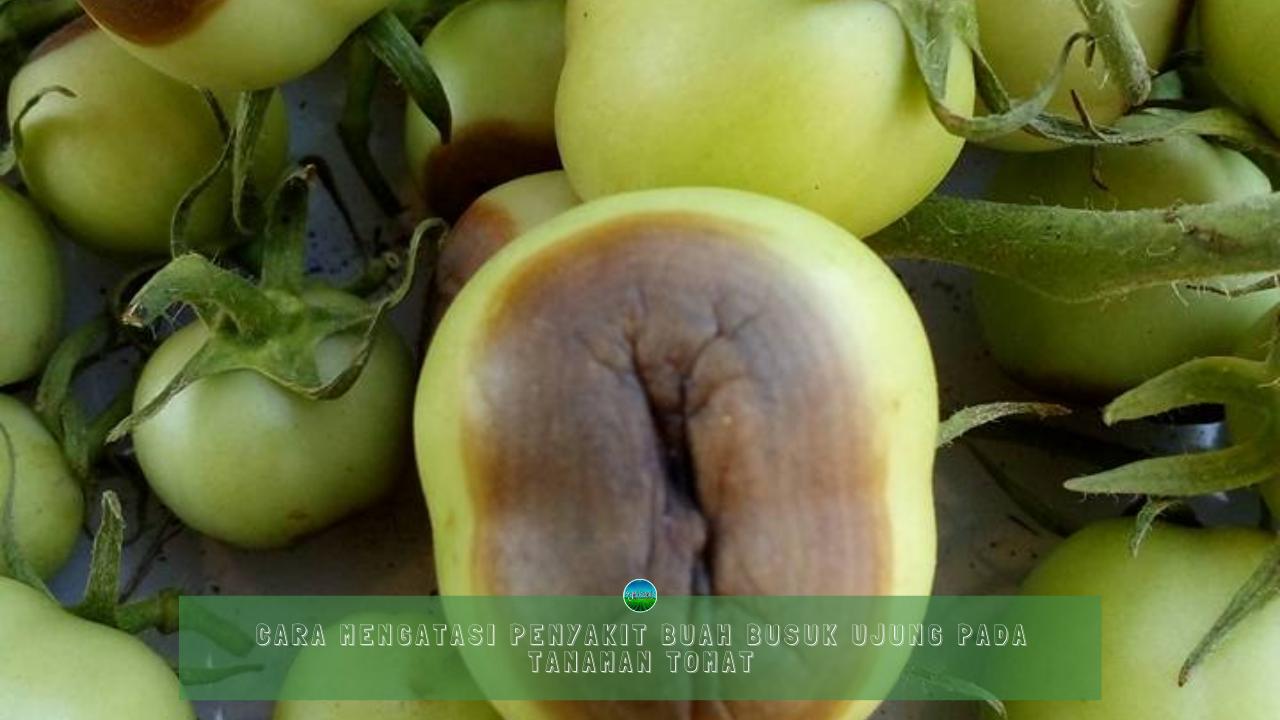 Cara Mengatasi Penyakit Buah Busuk Ujung Pada Tanaman Tomat
