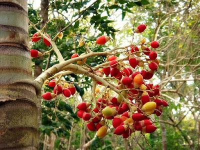 Pinang (Areca catechu)