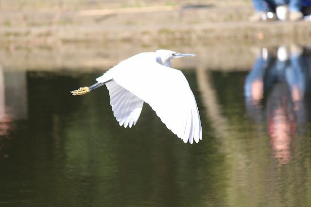 山崎公園コサギが飛ぶ