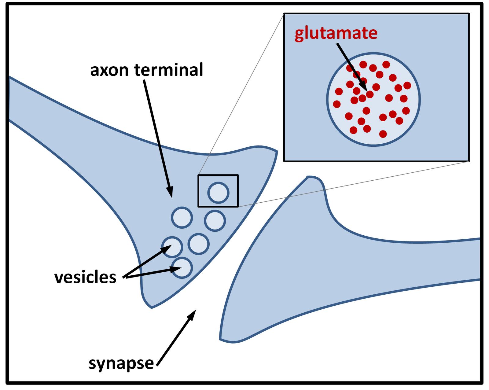 Let Them Eat Kait: The ephemeral lives of synaptic vesicles
