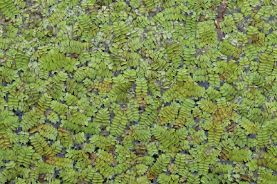budidaya tanaman azolla