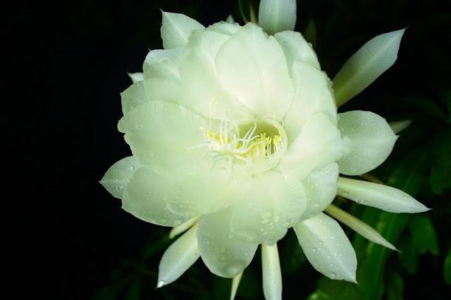 Mitos Bunga Wijaya Kusuma
