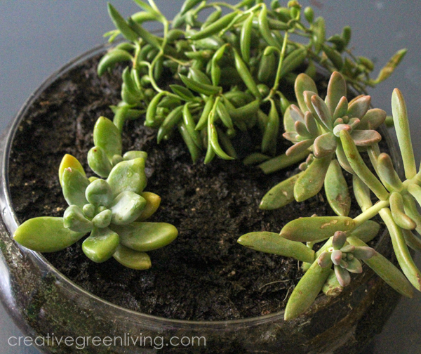 Use succulents to make a mermaid style fairy garden