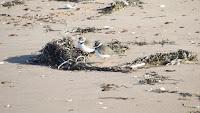 Semipalmated plovers standing on one leg – Brackley Beach, PEI – Oct.3, 2014 – © Denise Motard
