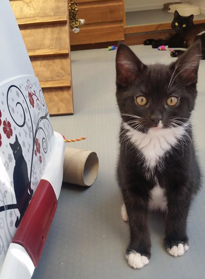 black-and-white kitten in a foster pen