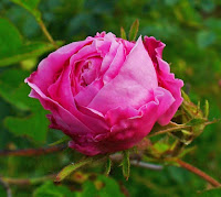 Provence or Cabbage Rose (Rosa centifolia) in Shakespeare