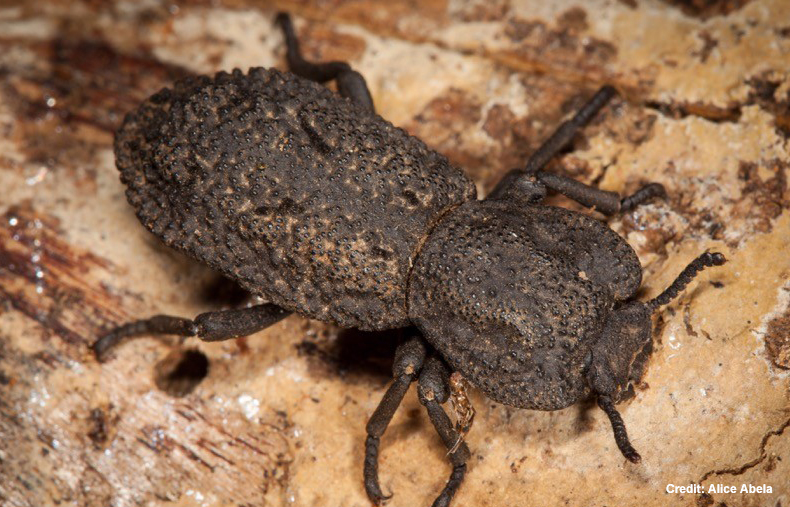Meet Nearly-Indestructible Super-Beetle That Can Even Survive Being Run Over By A Car