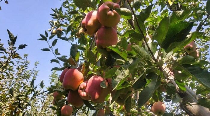 Apples of Jammu and Kashmir