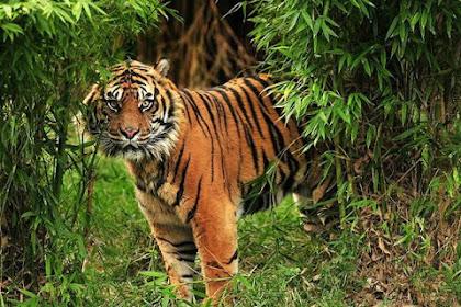 Jika Bertemu Harimau Lakukan 5 Cara Ini