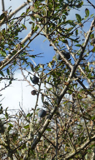 sloes on the bush