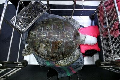 915 moedas retiradas de estômago de tartaruga