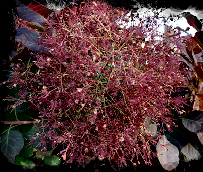 smokebush bloom