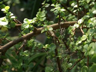Portulacaria afra - Pourpier en arbre