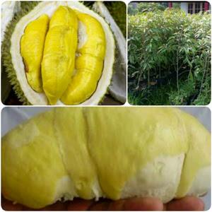 bibit-durian-kumbokarno.jpg