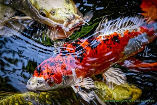 Teknik Budidaya Ikan Koi Agar Cepat Berkembang