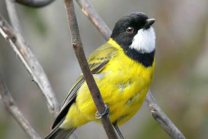 Inilah Si Kecil Burung Bimoli Yang Memiliki Suara Kicau Merdu