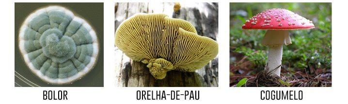 bolor-orelha-de-pau-cogumelo