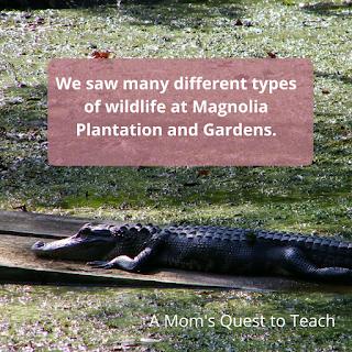 alligator at Magnolia Plantation and Gardens
