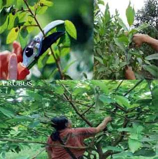 jenis pemangkasan, pemangkasan tanaman, cara memangkas tanaman