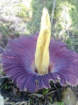 Bunga Bangkai Amorphophallus Titanum