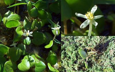 Cucharita de agua (Limnobium laevigatum)