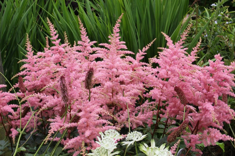 Astilbe espigas flores pluma rosa