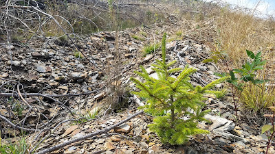 West virginia appalachia restoration red spruce lambert's strip