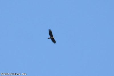 Àguila daurada en vol