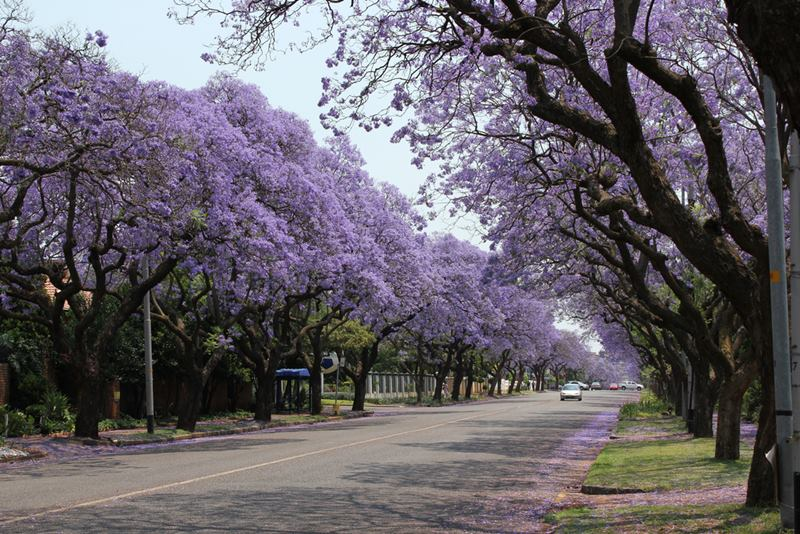 South Africa Purple tree, Pretoria in South Africa is popularly known as the Jacaranda City due to the thousands of Jacaranda trees planted in its streets, parks and gardens. This is the months of October and November, Pretoria is transformed into a glowing purple mass - around 40 000 and 70 000 Jacaranda trees in Pretoria are in bloom! Jacarandas line the streets and dot the parks and gardens throughout the city and purple carpet their floors with their bee-attracting blossoms.